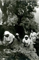 """Teaching olive cultivation"" Temporary exhibition at the Museum of the Olive and Greek Olive Oil"
